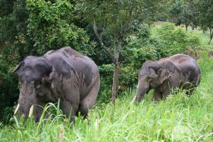 walking with rescued elephants at elephant sanctuary Thailand