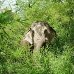 Elephant eating bamboo at elephant sanctuary Thailand Chiang Mai