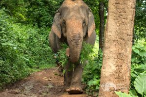 elephant forages in the jungle at elephant sanctuary thailand