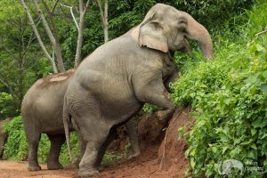 elephants foraging at care for elephants sanctuary