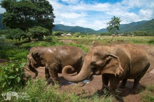 elephants take a mud bath at chiang mai elephant sanctuary