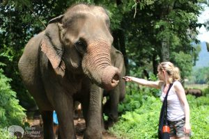 feeding elephants living in sanctuary chiang mai