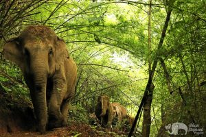 elephants roaming at care for elephants sanctuary thailand