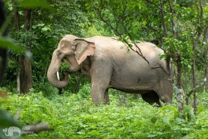 elephant foraging at chiang mai elephan tour
