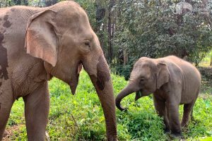 observing elephants at elephant sanctuary near chiang mai thailand