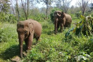 elephants walkin in the forest at elephant sanctuary Thailand