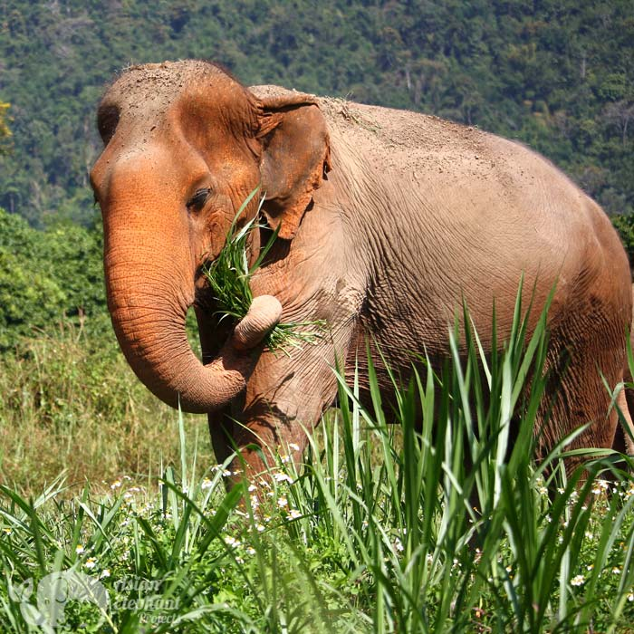 beautiful female elephant living in sanctuary chiang mai thailand