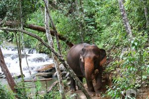 elephants in the jungle at Karen Elephant Expereince elephant sanctuary