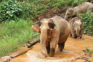Elephants take a mud bath at sanctuary