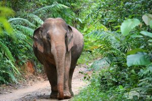 elephant wanders the jungle at Karen Elephant Experience sanctuary