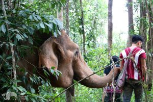 elephant forages in the forest at elephant sanctuary Thailand