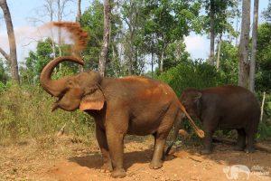 Elephant gives herslef a dust bath at elephant sanctuary