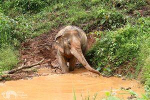 Elephant enters the mud pit at elephant sanctuary