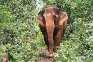 elephant roaming the forest at elephant sanctuary