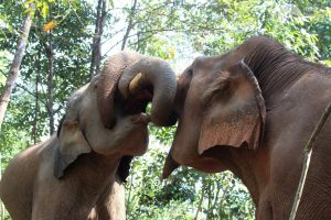 elephants interacting at elephant sanctuary