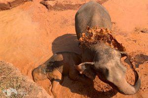 elephant taking a mud bath at elephant sanctuary near chiang mai