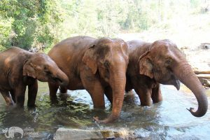 elephants bathing at elephant sanctuary thailand