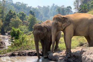 Elephant drinking on elephant tour Thailand