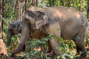 elephants forage in the jungle at Karen Elephant Habitat elephant sanctuary