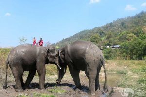 elephant freinds at sanctuary in Chiang Mai