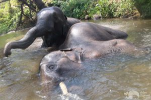 elephants bathing at Karen Elephant Home sanctuary in Thailand