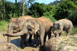Elephants take a mud bath at elephant sanctuary in Thailand