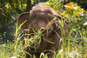elephant foraging in the forest