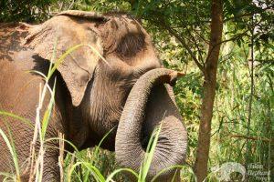 elphant scratches her eye