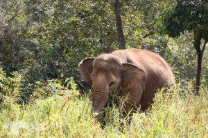 elephant foraging Thailand