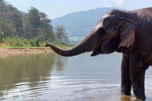 elephant in river chiang mai