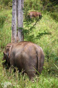 elephant foragin chiang mai elephant tour