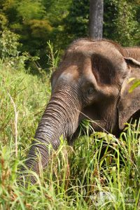 elephants foraging at chiang mai elephant tour