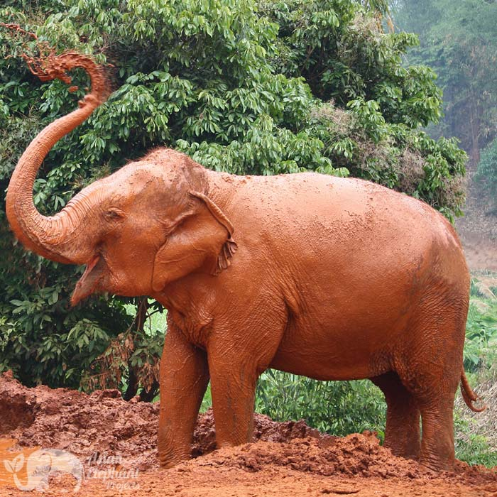 elephant takes a mud bath save thai elephant park chiang mai