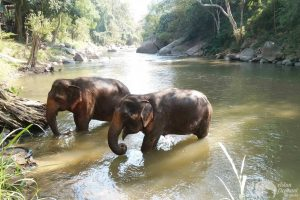 elephant bathing in the river at Sunshine for Elephants tour Chiang Mai