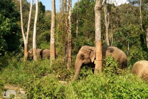 elephants walking in the jungle at Sunshine for Elephants sanctuary