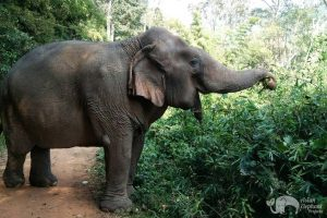 elephant foraging in the jungle at elephant sanctuary near chiang mai