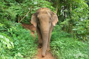 elephnant roaming the jungle at Sunshine for Elephants sanctuary Thailand