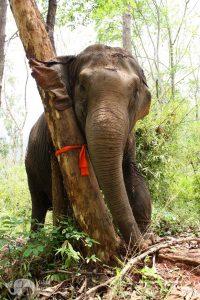 elephant sratching against tree at elephant sanctuary thailand
