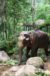 walking with elephants at chiang mai elephant tour