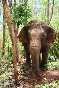 elephant foraging in the jungle at Sunshine for Elephants sanctuary