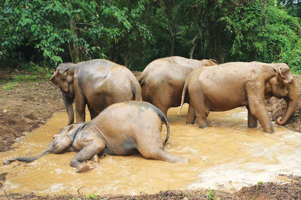 elephant playing in the mud pool at elephant sanctuary