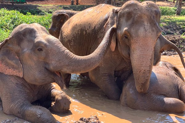 elephants taking a mud bath at elephant sanctuary thailand
