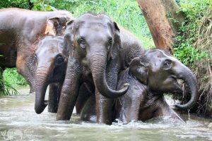 Elephants playing at elephant sanctuary