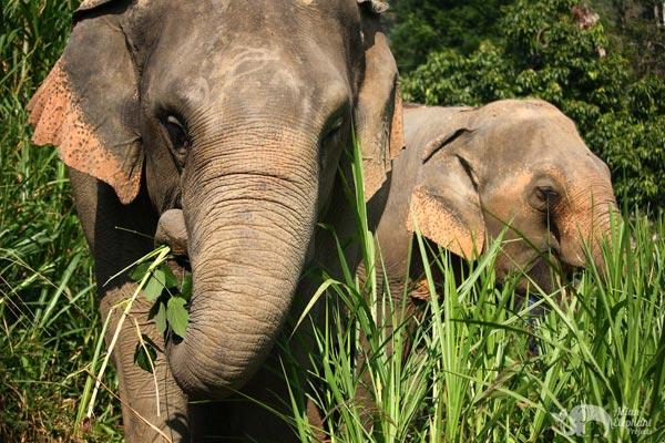 elephants foraging at elephant sanctuary thailand