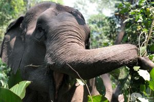 elephant foraging at Journey to Freedom elephant sanctuary