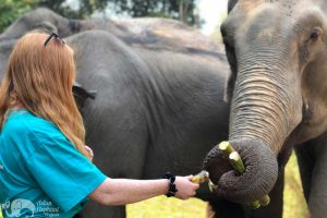 Volunteer with elephants at elephant sanctuary