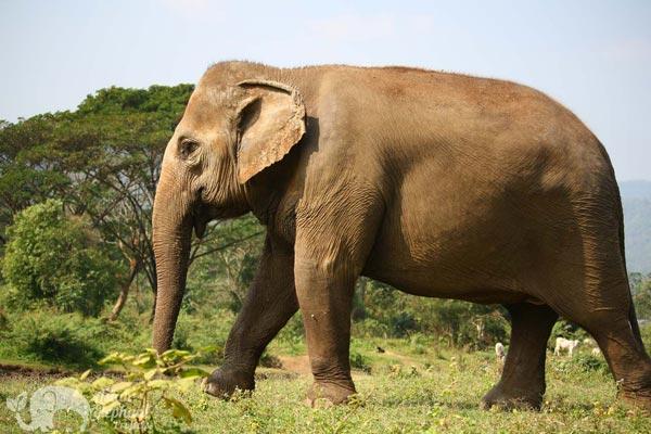 elephant wandering elephant sanctuary