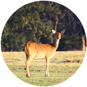 spotted deer india