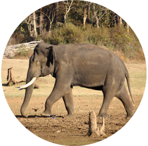wild bull elephant India