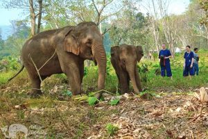 asian elephant projects elephant sanctuary chiang mai